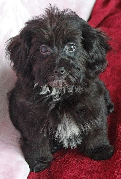 Havapoo Puppy for Sale in Boca Raton, South Florida