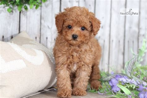 Whiskey: Poodle, Toy puppy for sale near Columbus, Ohio