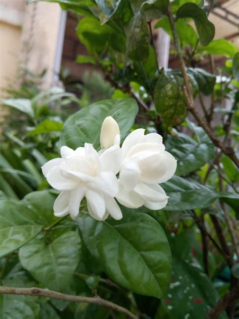 Garden Care Simplified: Growing Mogra Chameli from