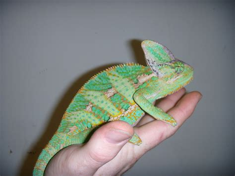 Veiled Chameleon Facts and Pictures   Reptile Fact