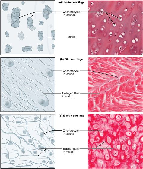 Connective Tissue Supports and Protects · Anatomy and