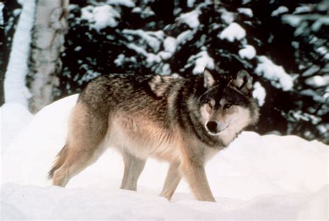 Wolf hunting has strong support in Wyoming, poll finds