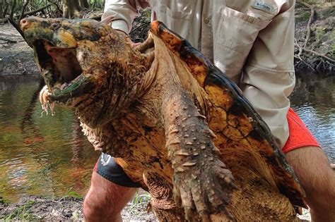 FWC Documents 100lb Alligator Snapping Turtle - Florida