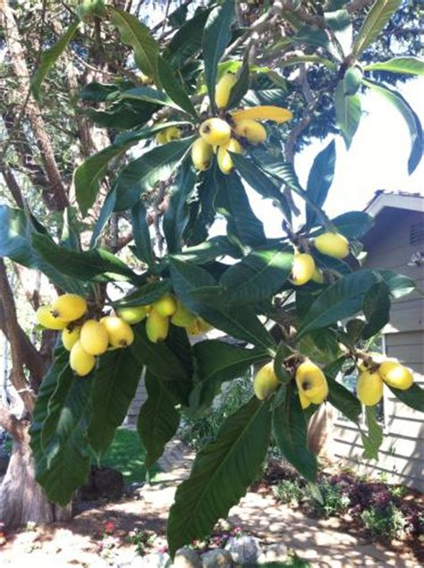 Yellow squishy fruits on unknown tree, northern california