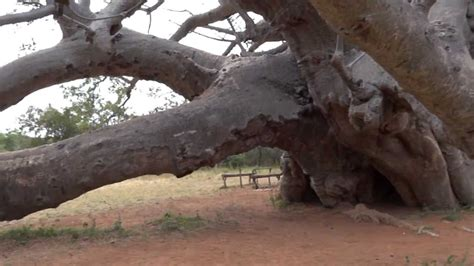 Sagole Big Tree (Baobab) -- The largest tree in South