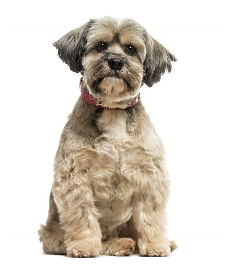 Lhasa Apso | Dogs | Breed Information | Omlet