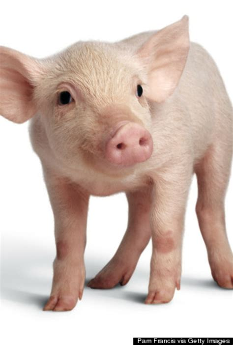 Download High Quality pig clipart realistic Transparent