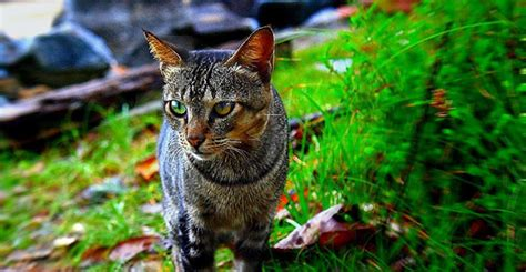 Can Wild Cats Be the Source of a Pet's Fleas? - Colonial