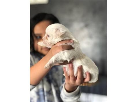 2 beautiful white Maltese puppies for sale in City of