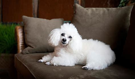 Top 5 Toy Dog Breeds For Apartment Living In India
