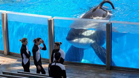 As SeaWorld stops breeding orcas, what are the impacts for