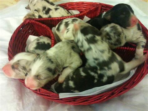 Shamrock Rose Aussies - UPDATE!! AVAILABLE PUPPIES 7/29/15