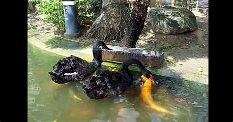 White Wolf : Black Swans Feed Koi Fish in Taiwan (VIDEO)